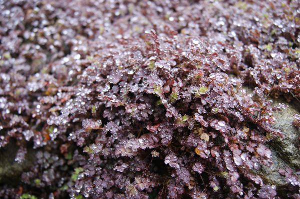 Rich Purple Foliage Groundcover